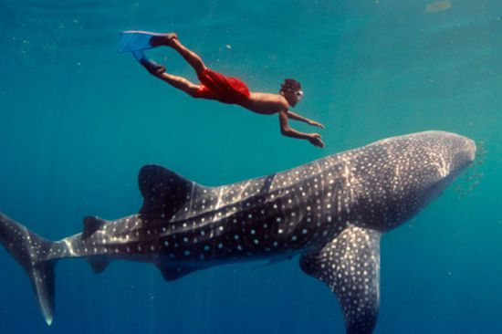 Nado con el Tiburón Ballena desde Cancún