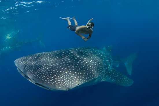 Nado con el Tiburón Ballena desde Playa del Carmen