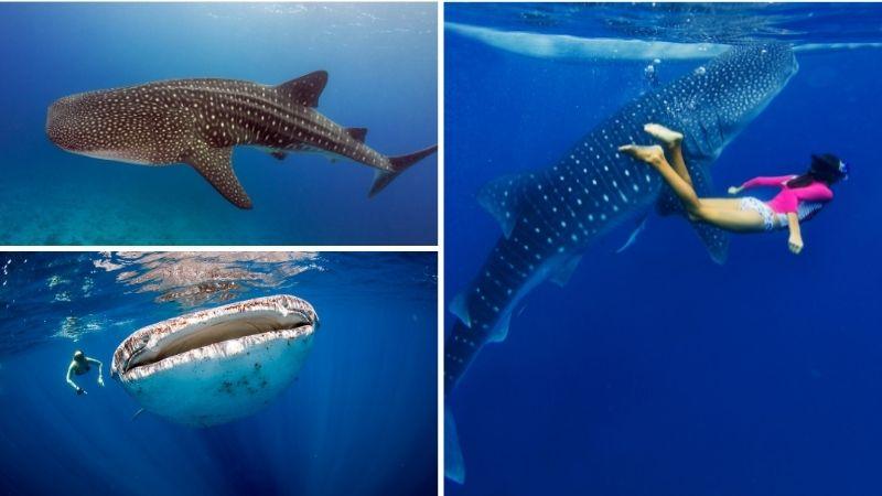Tour Nado con el Tiburón Ballena
