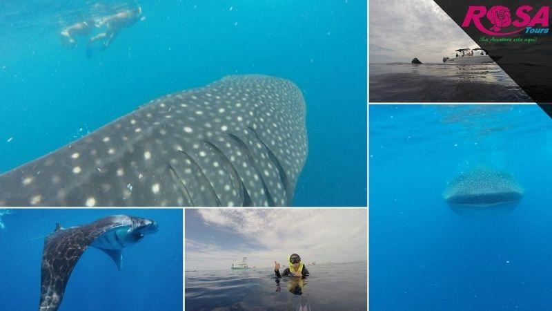 Nado con el Tiburón Ballena